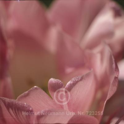 002 Tulpe, Tulipa
