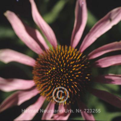 006 Purpursonnenhut, Echinacea Purpurea