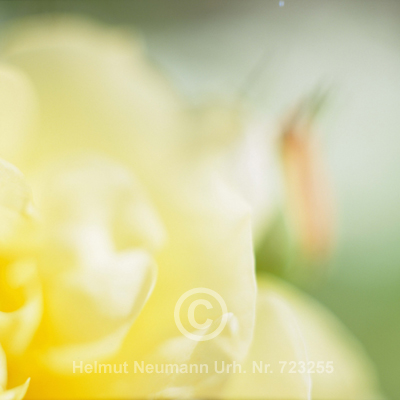 008 Rose, Rosa
