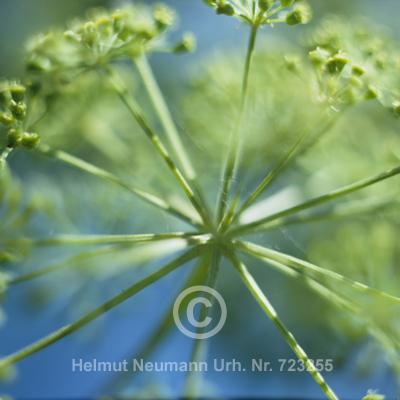 009 Fenchel, Foeniculum vulgare