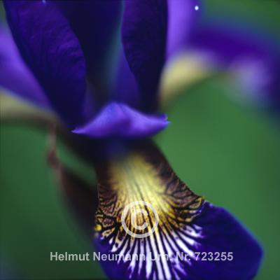 011 Wieseniris, Iris sibirica