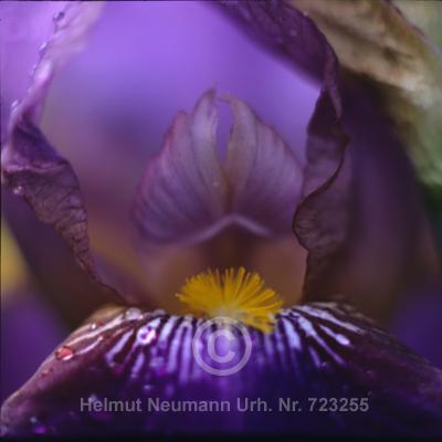 012 Schwertlilie, Iris germanica