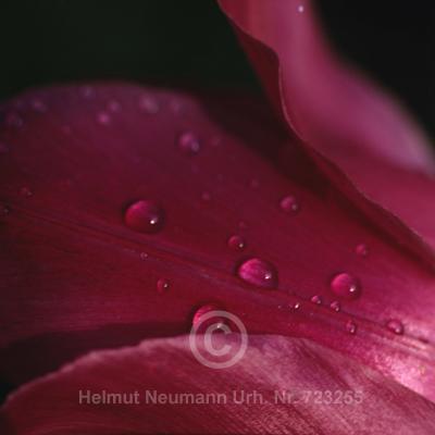 014 Tulpe, Tulipa