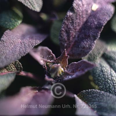 015 Purpursalbei, Salvia officinalis purpurea
