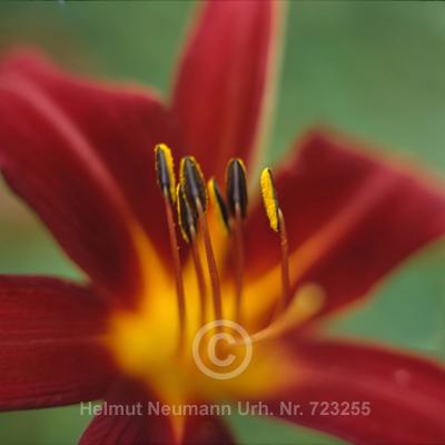 016 Taglilie, Hemerocallis