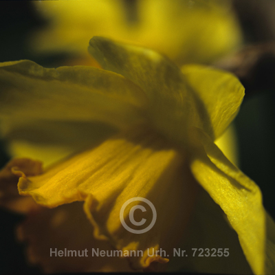 017 Narzisse, Narcissus