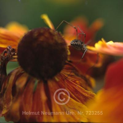 021 Spinne auf Sonnenbraut, Helenium