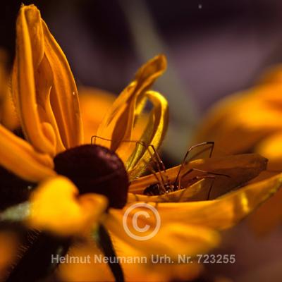 025 Zweijähriger Sonnenhut, Rudbekia hirta