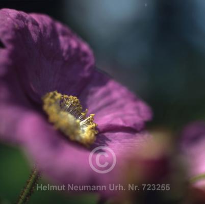 026 Zimthimbeere, Rubus odoratus