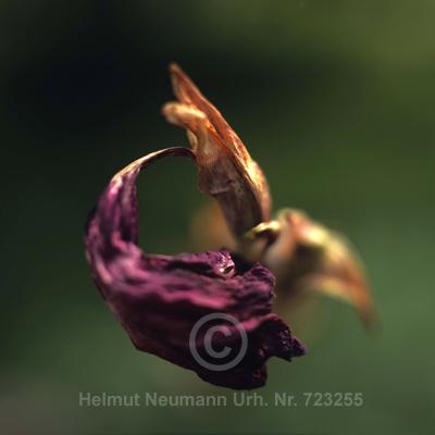 029 Gladiole, Gladiolus gandavensis