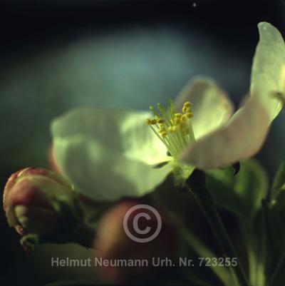 031 Apfelblüte, Malus