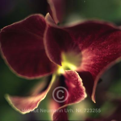 032 Stiefmütterchen, Viola tricolor