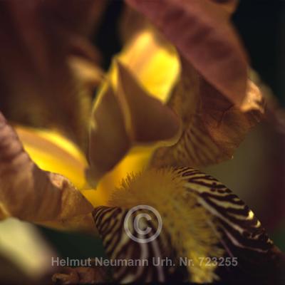 036 Iris, iris germanica