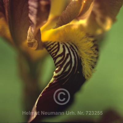 037 Iris, Iris germanica