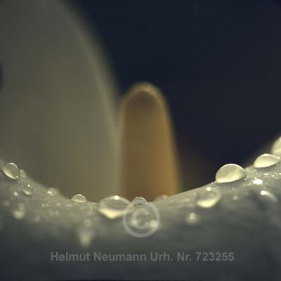 041 Zimmerkalla, Zantedeschia aethiophica