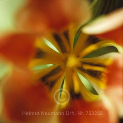 043 Tulpe, Tulipa