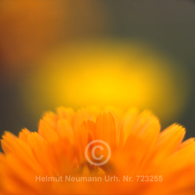044 Ringelblume, Calendula officinalis