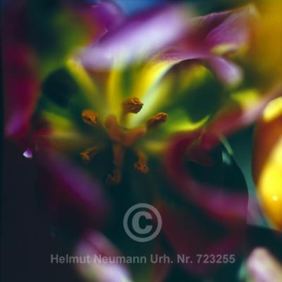 046 Tulpe, Tulipa
