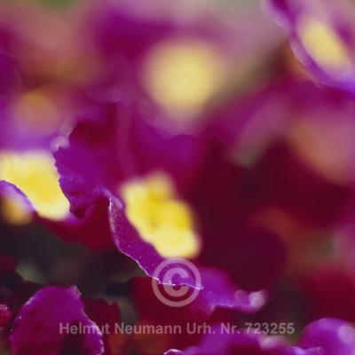 049 Primeln, Primula vulgaris